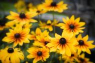 Image of Black-eyed Susans.